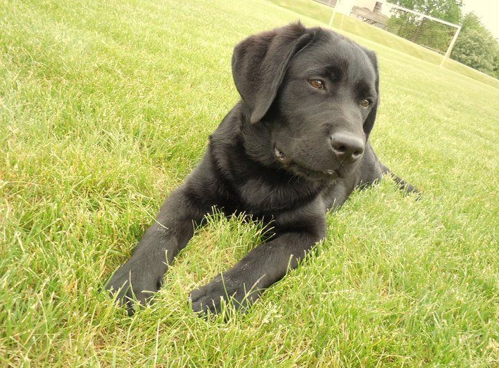 English Lab Puppies For Sale In Maine Ideas