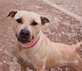 Adopt Beautie On Petfinder Bulldog Dog American Bulldog Mix American Bulldog