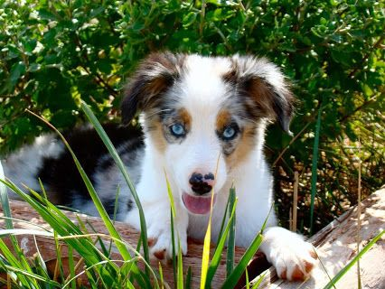 Color Country S Toy Aussie Puppies For Sale We Are A Champion