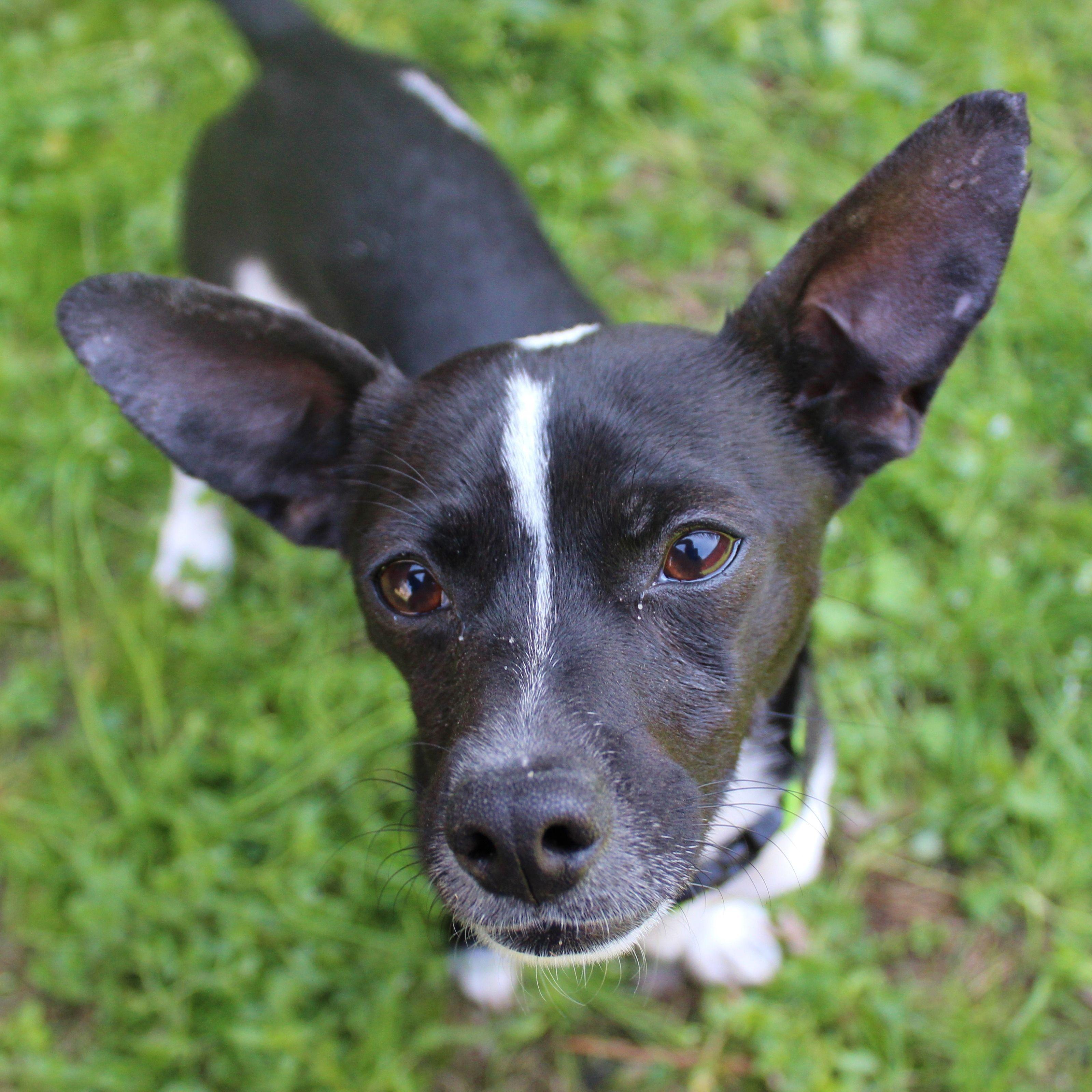 Rat Terrier dog for Adoption in Atlanta, GA. ADN405103 on