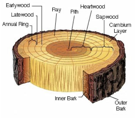 stem club parts of a tree ihn science for homeschool. Black Bedroom Furniture Sets. Home Design Ideas