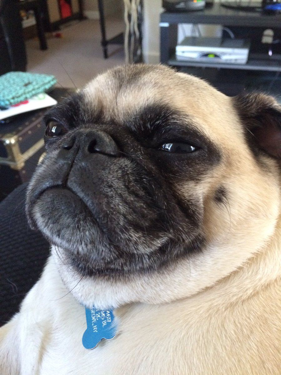 Pugchat Hashtag On Twitter Cute Dogs And Puppies Puppies Funny