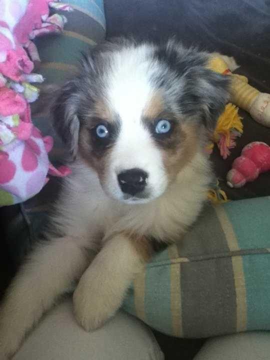 Aussie Shepherd Puppies For Sale Australian Shepherd Puppies