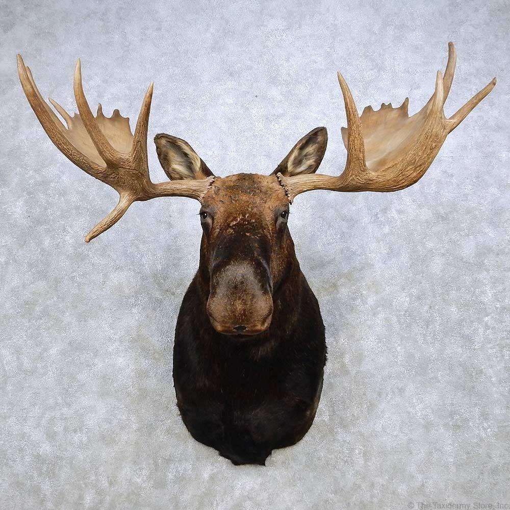 Alaskan Yukon Moose Head Taxidermy Shoulder Mount For Sale Taxidermy Taxidermy Mounts Moose Head