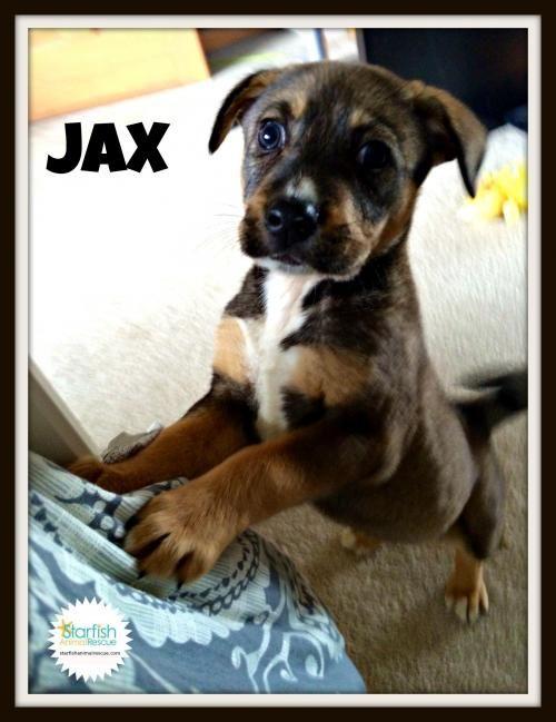 Adopt Jax on Puppy Doberman pinscher puppy, Lab mix