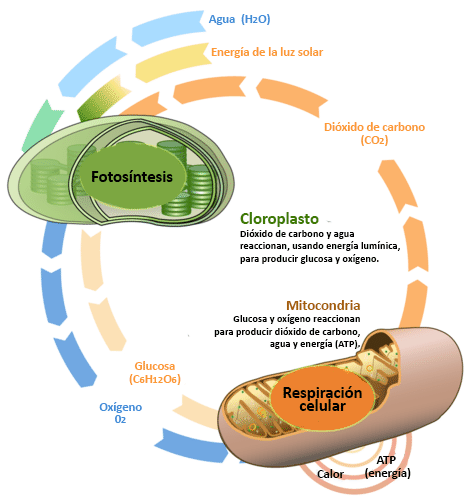 Cellular Respiration And Photosynthesis Are Direct Opposite Reactions Respiracion Celular Fotosintesis Fotosintesis Y Respiracion