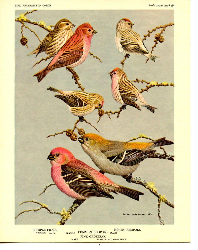 Finch-Redpoll Bird Portraits