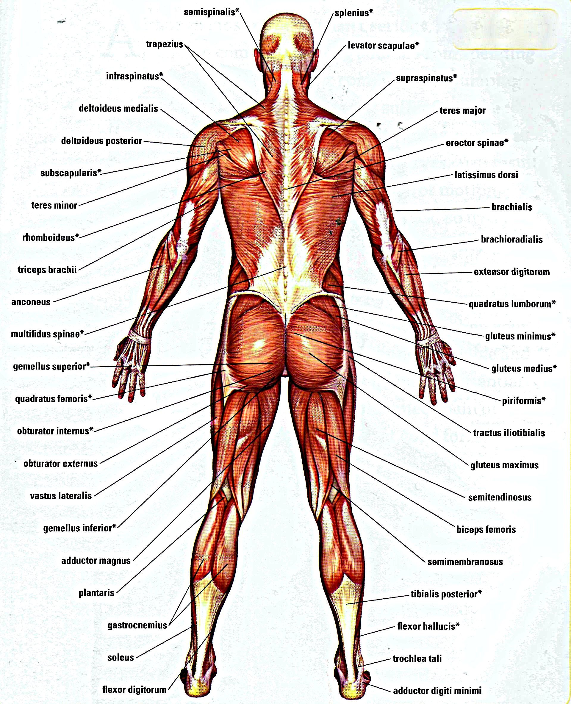 Muscles Backpg 19192366 Anatomy For Artists Overall