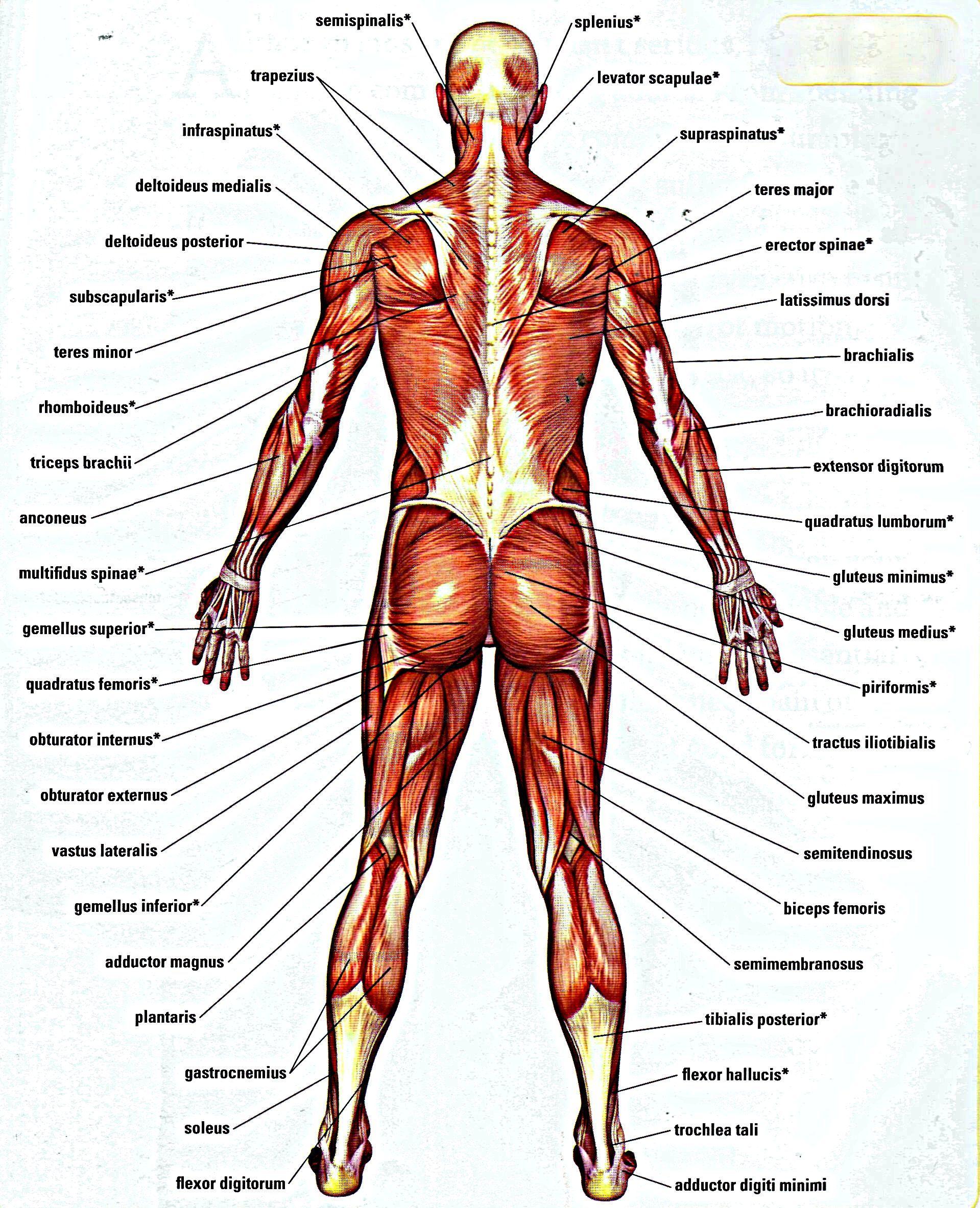 lower back muscles anatomy anatomy back muscle diagram human body drawing human [ 1919 x 2366 Pixel ]