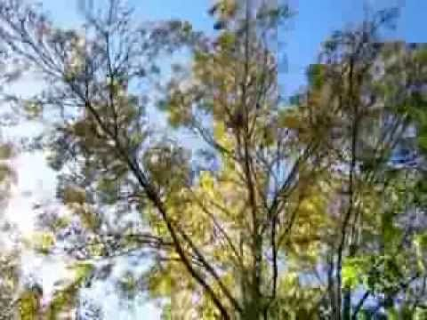 Ash trees at the side of our garden - YouTube