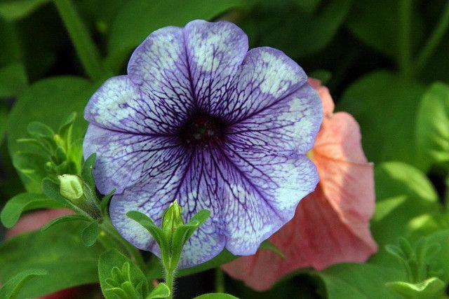 Petunia by Debbie's Gardens, via Flickr
