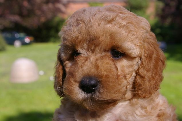 Two Year Cavapoo Boy For Sale In Knutsford Cheshire North West Dogs And Puppies Puppies For Sale Cavapoo Puppies Silver Labrador Puppies