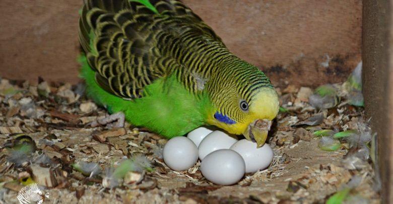 متى تضع انثى البادجي بيضها و كم تبيض من بيضة Budgies Parrot Bird