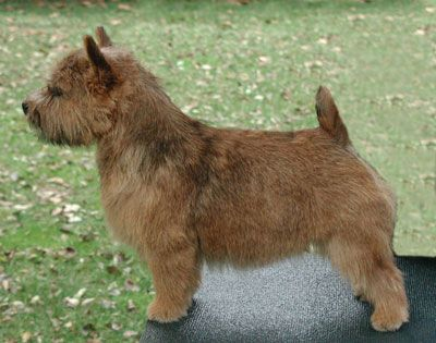 Small And Stocky The Norwich Terrier Is Most Easily Distinguished