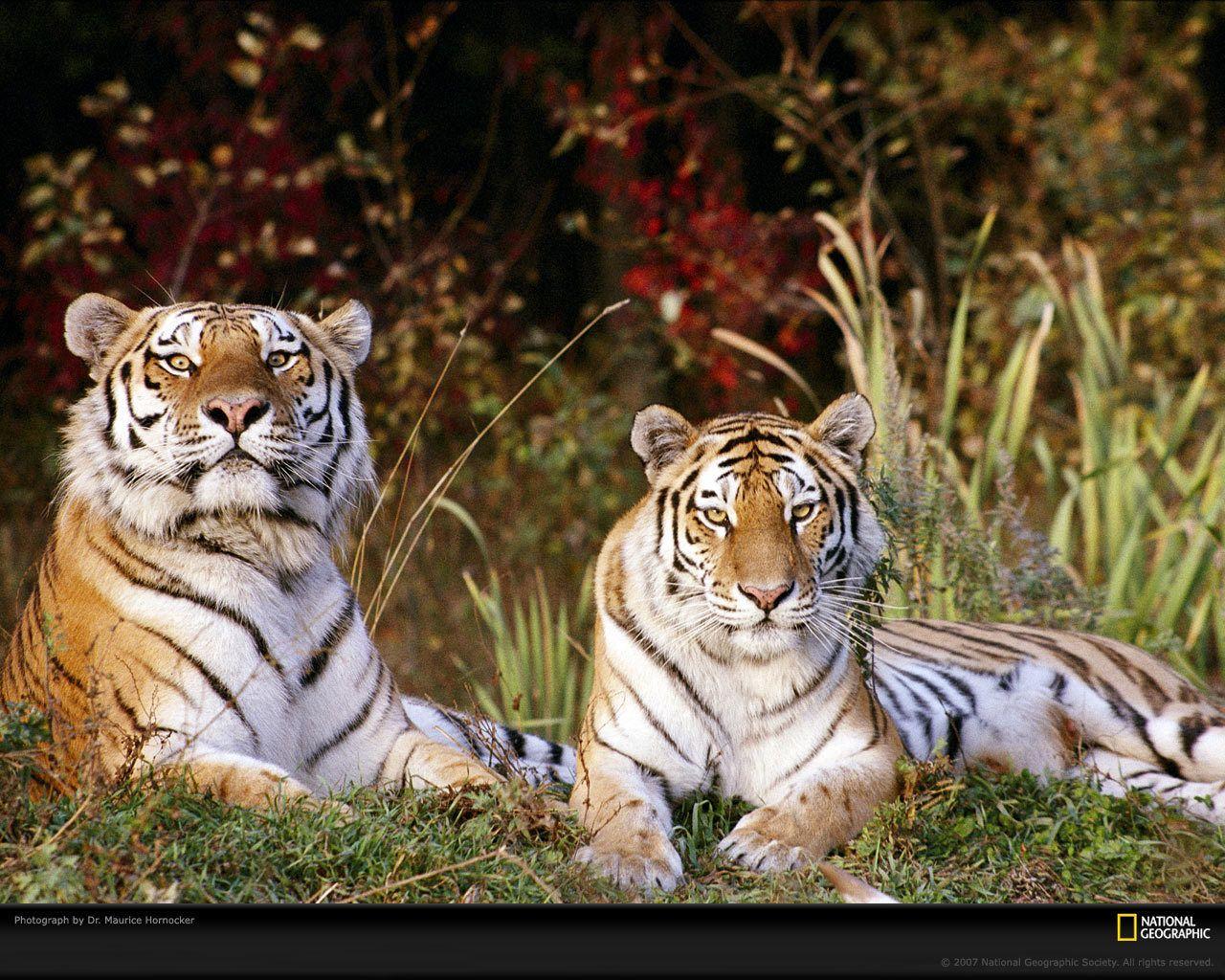 Tiger Wallpaper - Tigers Wallpaper (9981546) - Fanpop