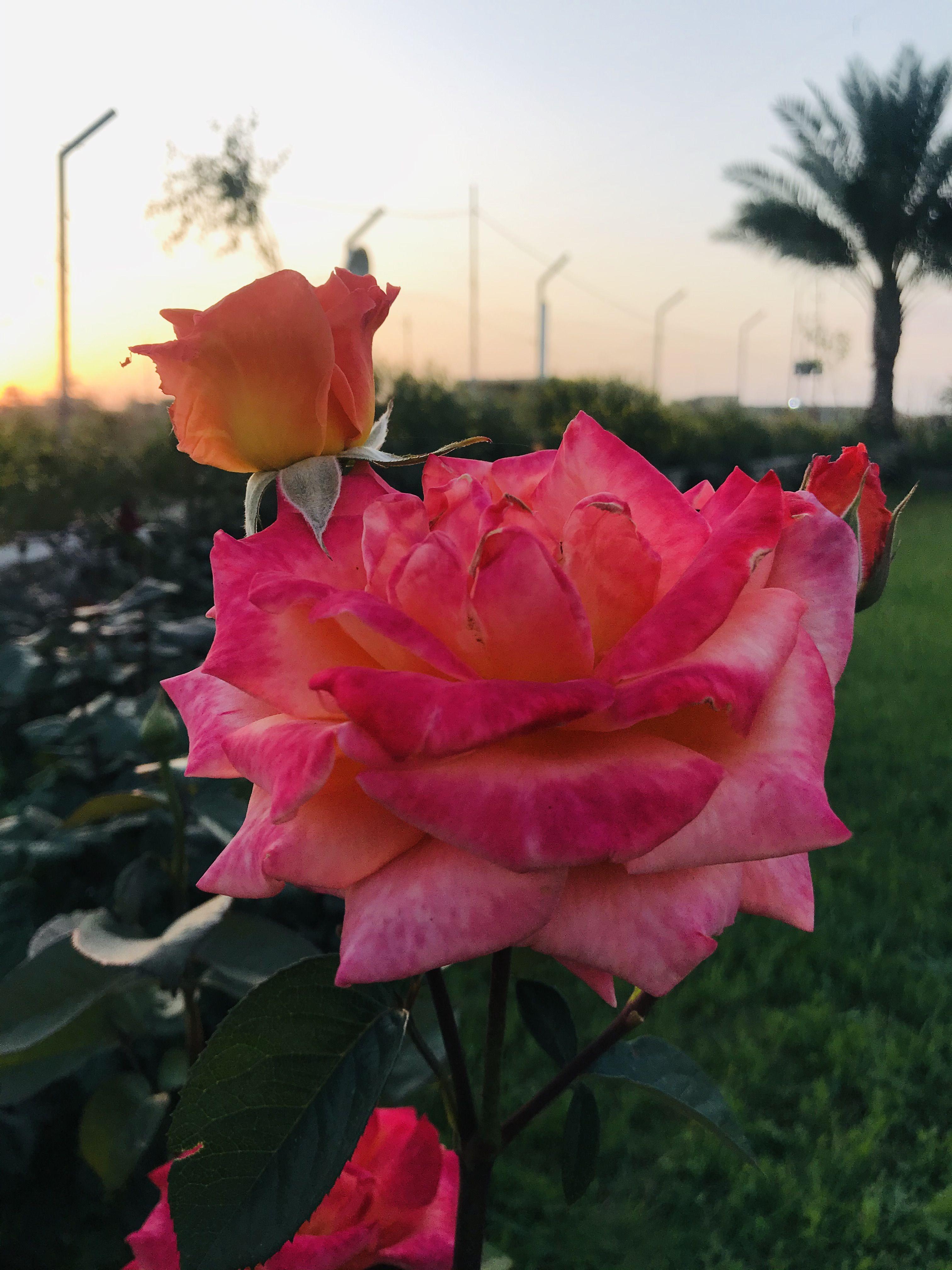 ورد جوري Rose Flowers Plants