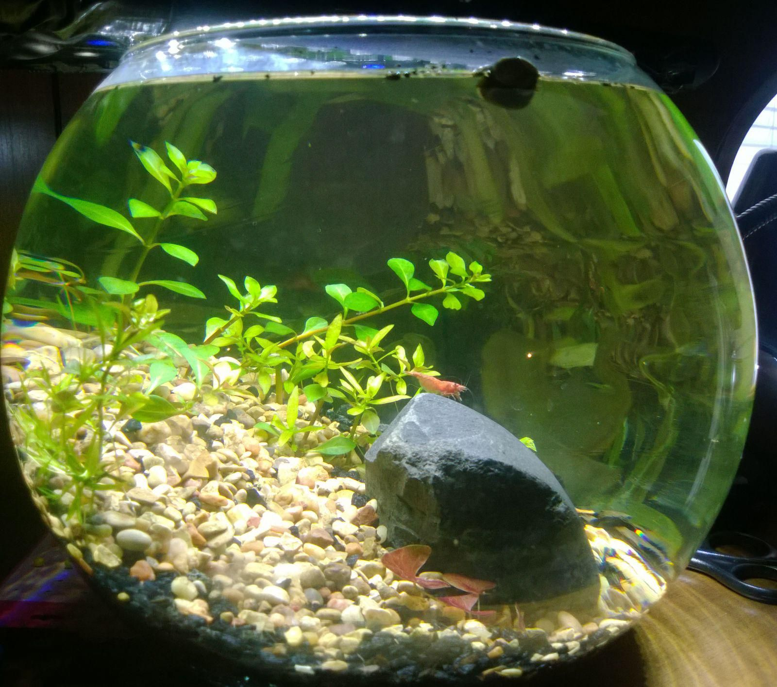 Walstad bowl aquabowl pinterest aquariums betta and for Beta fish bowl