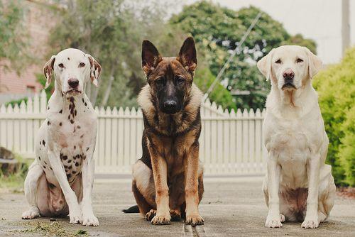 Dalmatian German Shepherd And Labrador Retriever Smartest Dogs