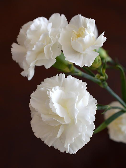 Miniature Carnations Year Round White Flowers Pinterest