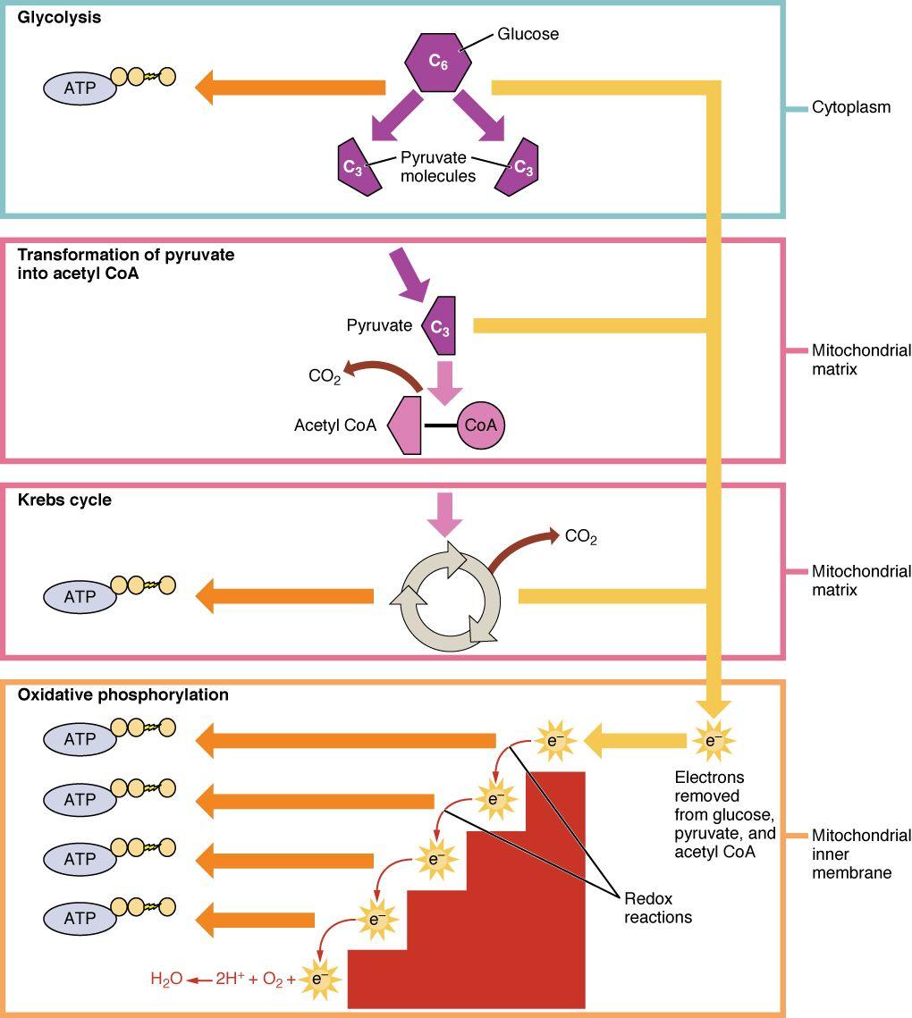 Cellular Respiration Cellular respiration