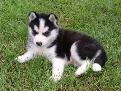 Where To Find Pomsky Puppies For Sale In Us Pomsky Puppies