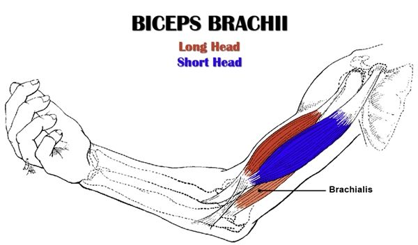 Biceps Anatomy All About The Biceps Muscles Biceps Brachii Bicep Muscle Biceps Workout