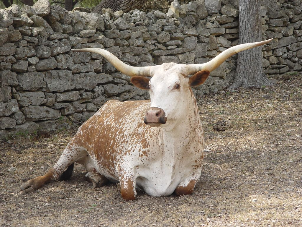 Texas Longhorn Animals Animal Lover Longhorn Cattle