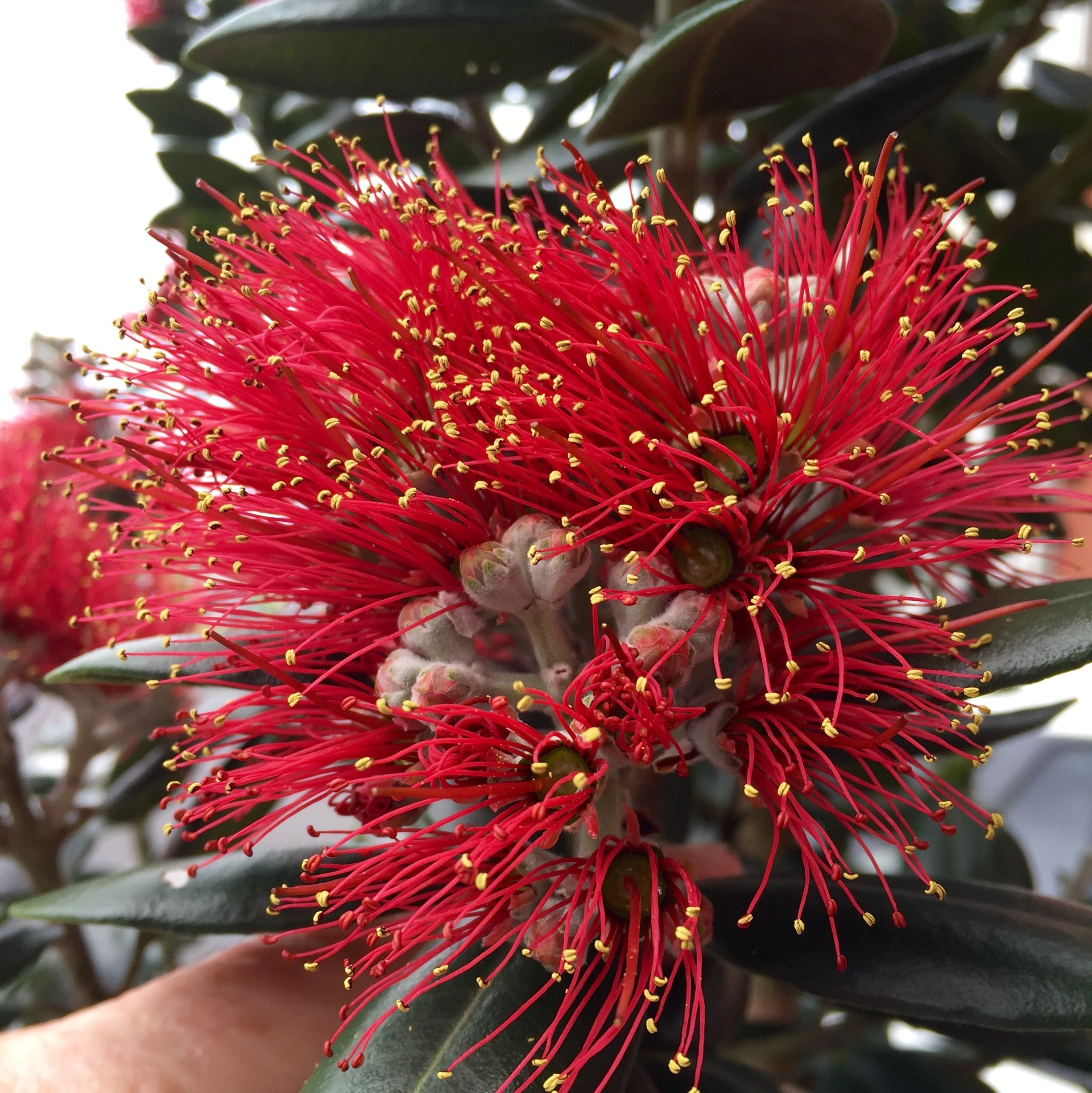Fibre optic christmas flowers and xmas flowers - Pohutukawa Flower The New Zealand Christmas Tree