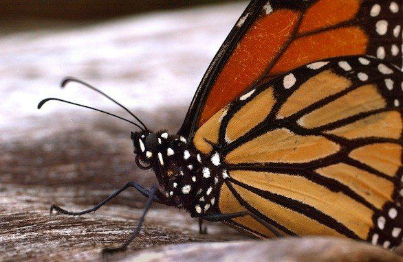 It's the time of year when migrating monarch butterflies winter over in Natural Bridges State Park in Santa Cruz. They arrive in mid-October...