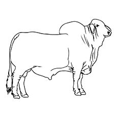 10 Cute Bull Coloring Pages For Your Toddler Cow Coloring Pages