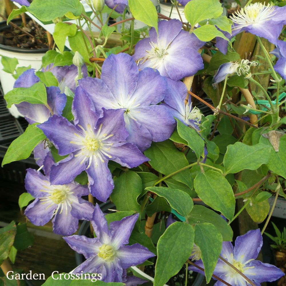 Clematis Brother Stefan Buy Clematis Perennials Online Purple Perennials Clematis Beautiful Flowers