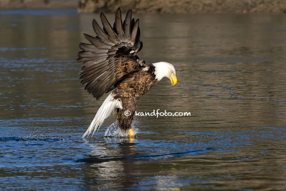 Bald Eagle walking on water. See more images of Alaska at http://www.kandfoto.com