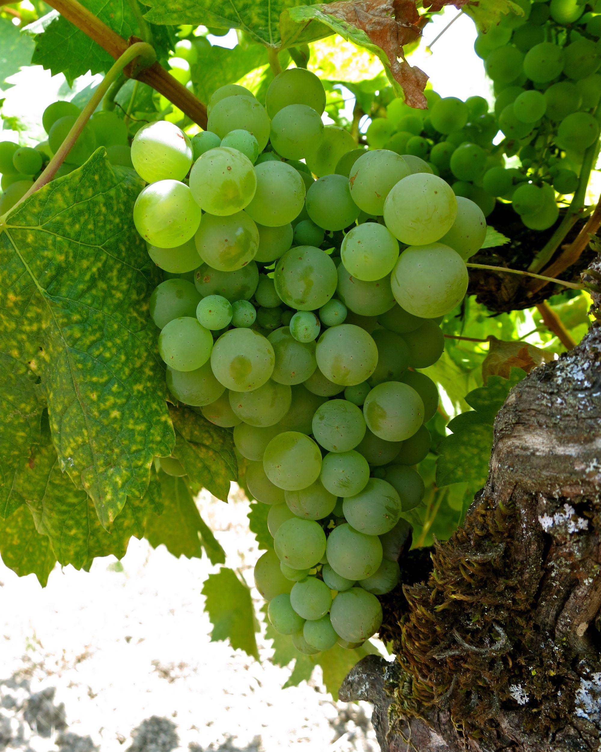 Colombard Grapes
