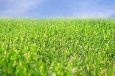 Thick, healthy grass prevents weeds.