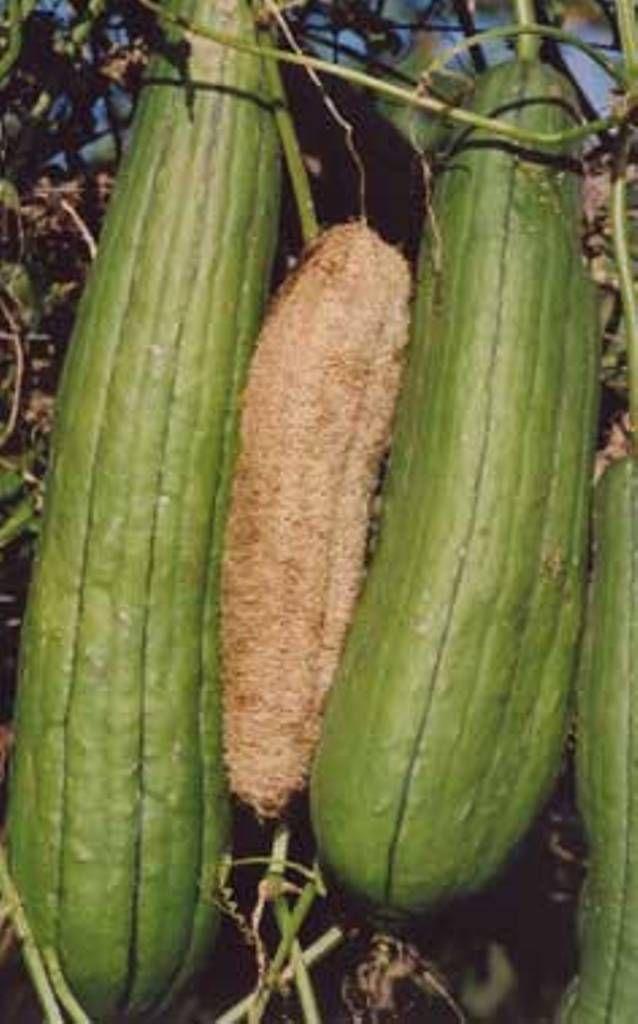 La Louffa (éponge végétale) | liorzhañ | Pinterest