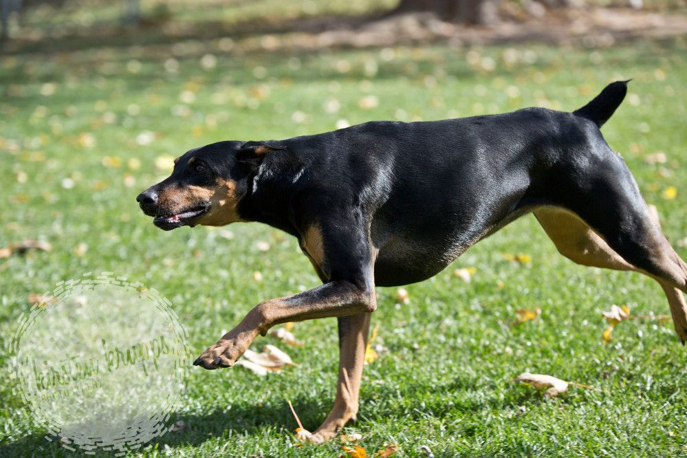 This is Spazzi Jazzi stalking her brother Bodie, photo by: Kirsten Krupps Photography