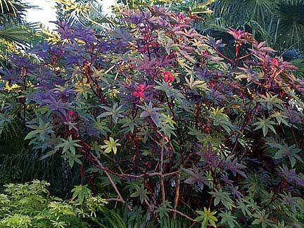01sept24 6 Ricinus Communis Red Castor Bean Tree Castor Beans