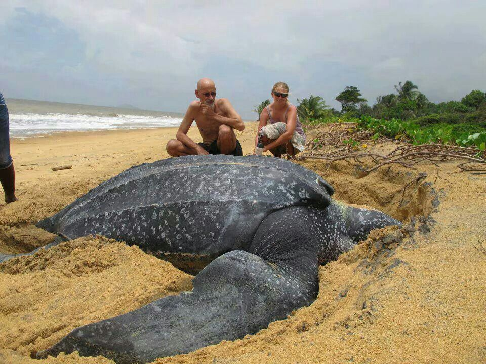 Giant female leatherback turtle laying her eggs. 1 in a thousand will make it to adulthood. Amazing