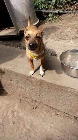 PATUNA is an adoptable Chihuahua searching for a forever family near Lombard, IL. Use Petfinder to find adoptable pets in your area.