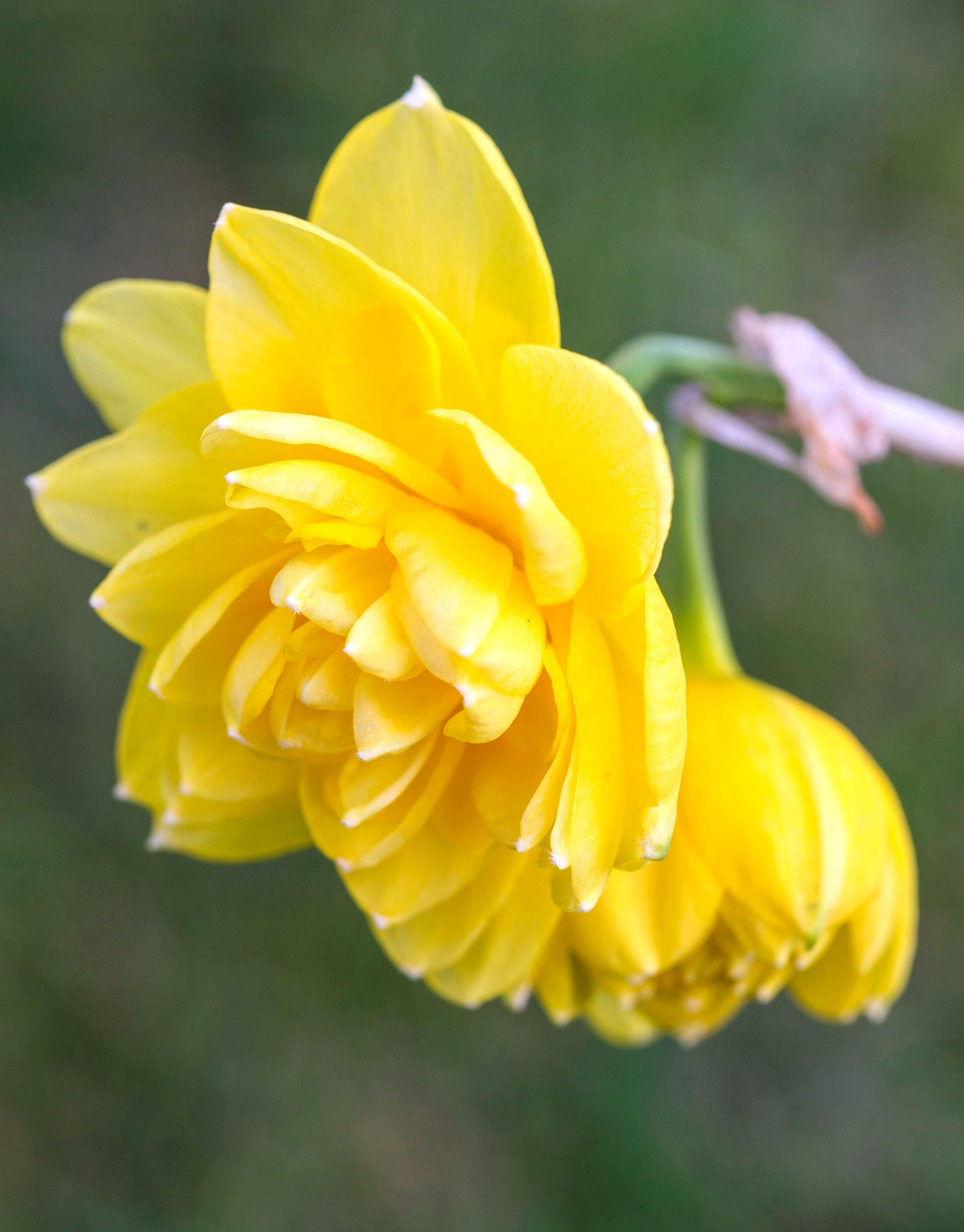 Double Yellow Flowers With A Lovely Fragrance This Delightful Multi