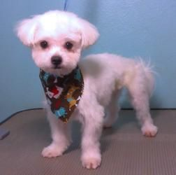 Adopt Streusel On Maltese Dogs Puppy Haircut Cute Animals