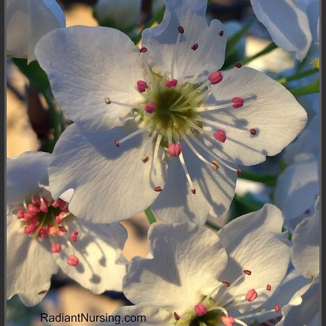 Flowering pear tree blossoms.