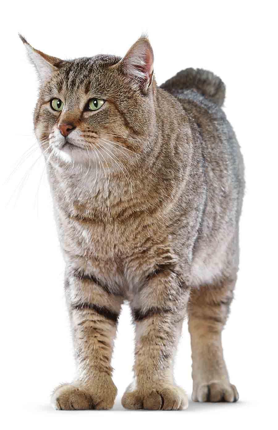 Фото кошки пикси-боб   Сумасшедшие кошки, Кошки и котята ...