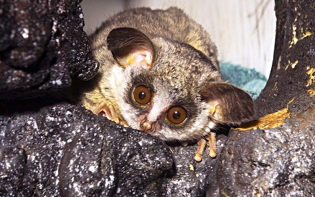 Bush Baby | Slow loris, Primates, Animals