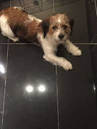 Image Result For Tzu Basset Jack Russell Dogs Fox Terrier