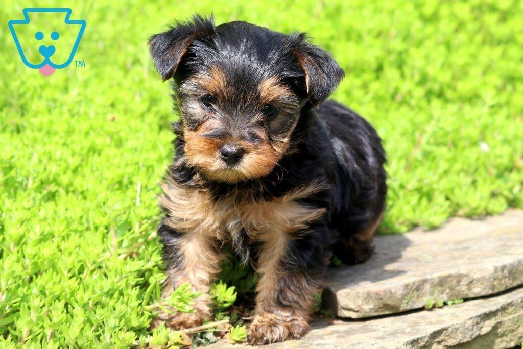 Blake Puppies Yorkie Poo Yorkie Poo Puppies