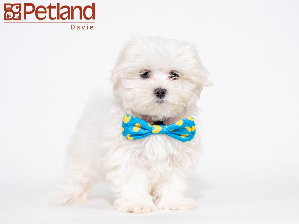 Petland Florida Has Maltese Puppies For Sale Check Out All Our