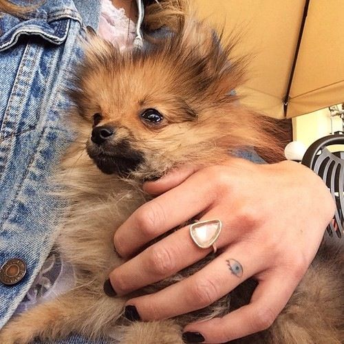 Long Haired Chihuahua Cuteanimals Cute Animals Animal Tattoos