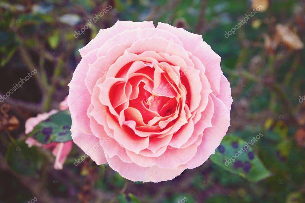 Rose Blossom Detail Blooming Garden - Stock Photo , #Aff, #Detail, #Blossom, #Rose, #Blooming #AD