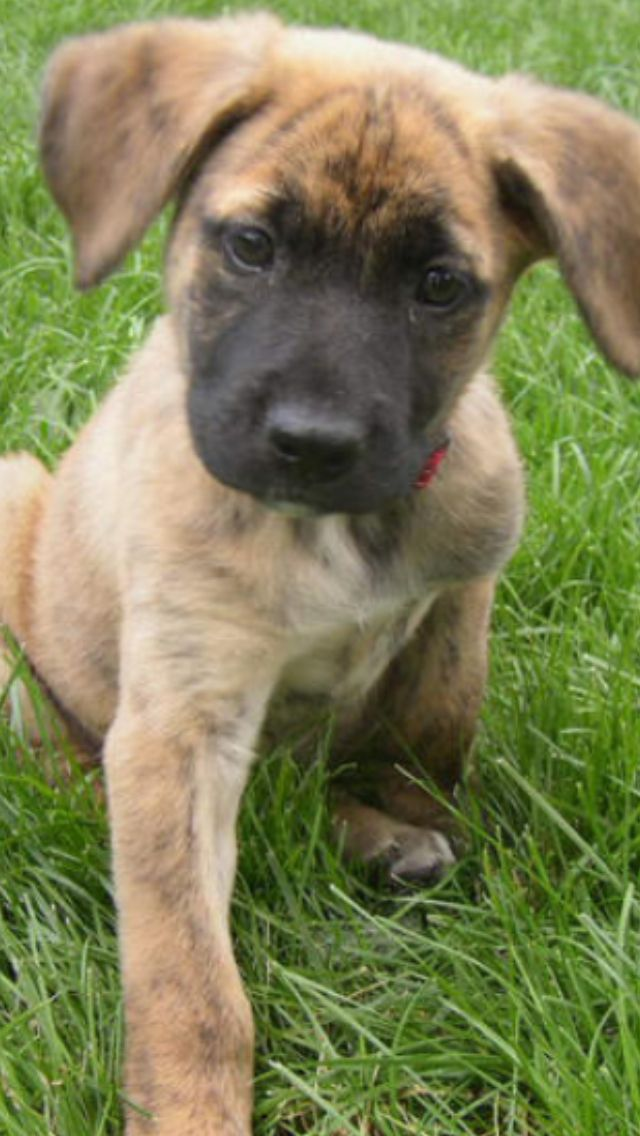 We Might Be Getting One Pitbull Boxer Mix Sooo Cute